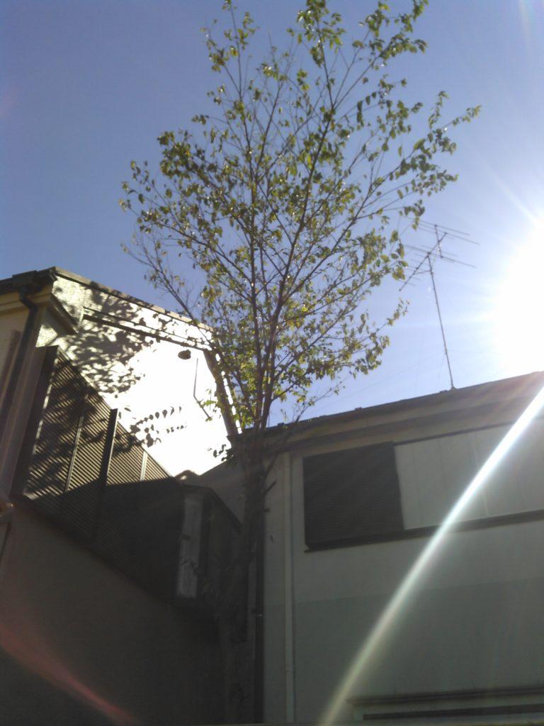 狭小地樹木伐採